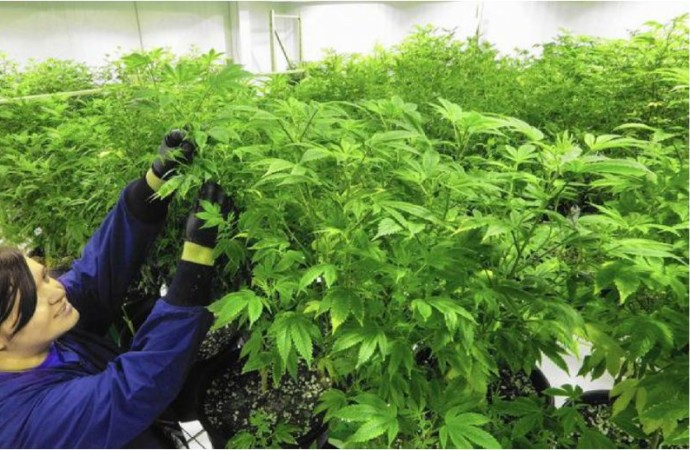 A Commissioner Doubts The Benefits of Medical Marijuana