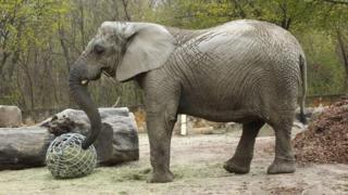 Elephant at Warsaw Zoo to test cannabis-extract oil